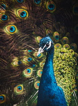 Isabelle Lafrance HEAD AND TAIL OF PEACOCK